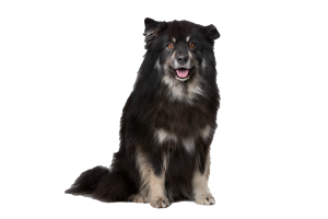 finnish-lapphund-pricing-pic