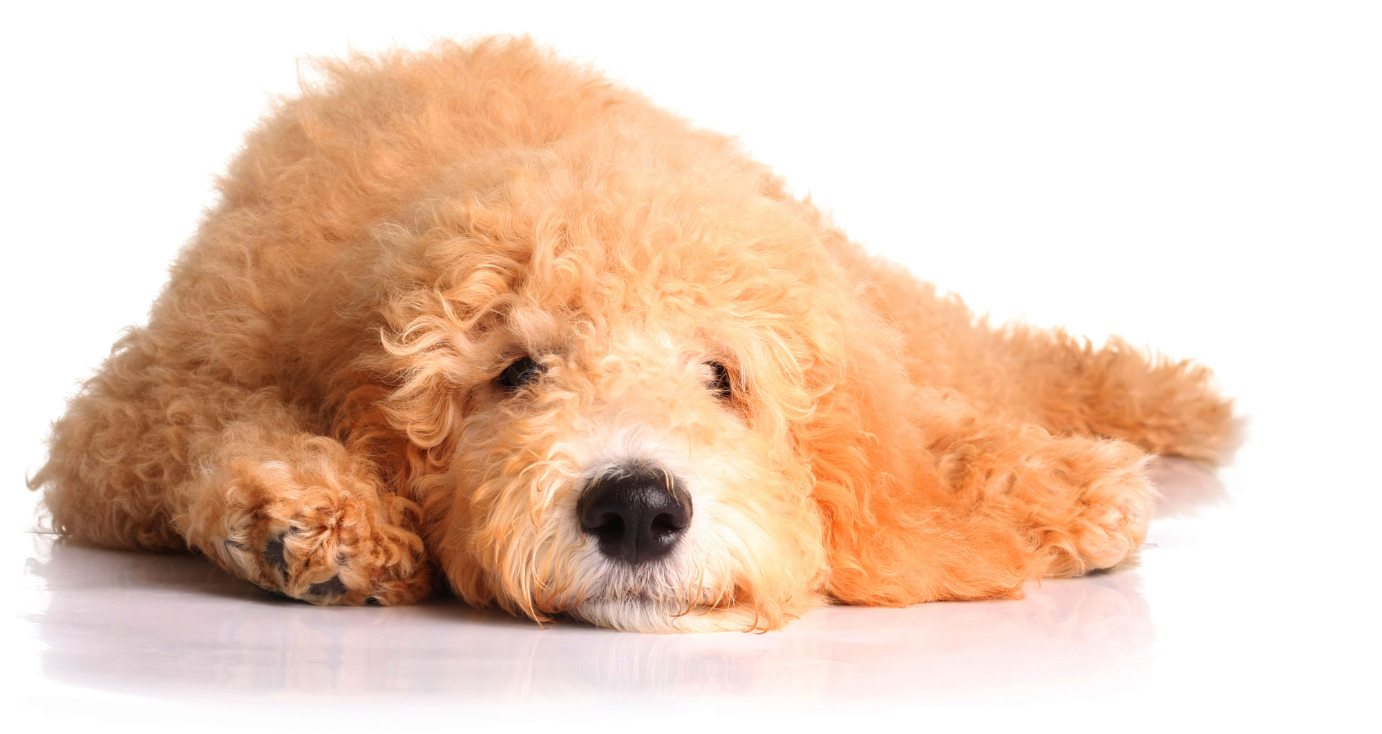 goldendoodle-bark-avenue-header
