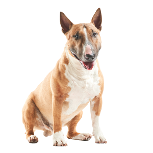 bull-terrier-pricing-pic