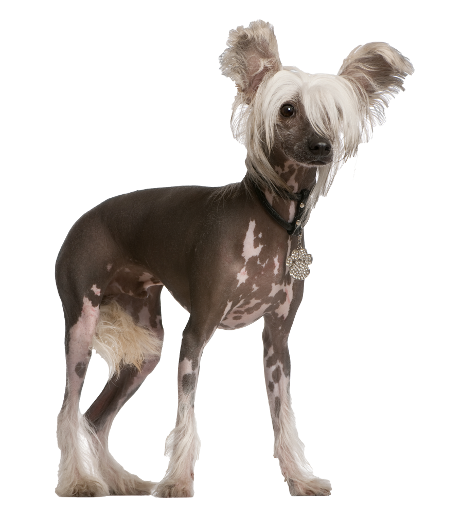 Chinese Crested Pricing Pet Salon Bark Avenue